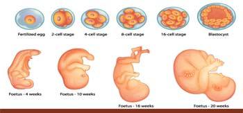 سونوگرافی هفته هفدهم بارداری